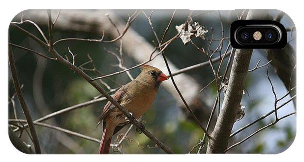 Female Cardinal 3 IPhone Case