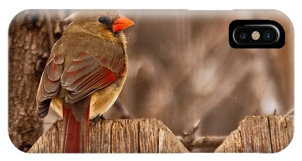 Female Cardinal On The Fence IPhone Case