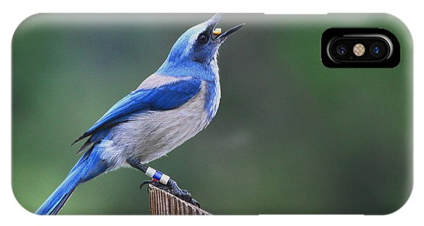 Florida Scrub Jay Eating IPhone Case
