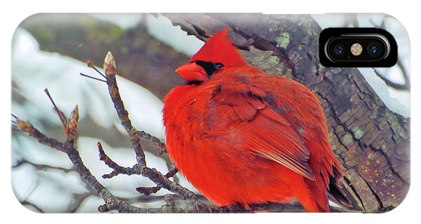 Fluffed Up Male Cardinal IPhone Case