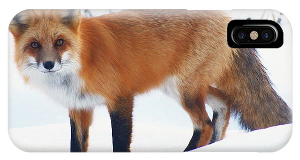 Fox On The Prowl IPhone Case