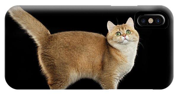 Funny British Cat Golden Color Of Fur IPhone Case