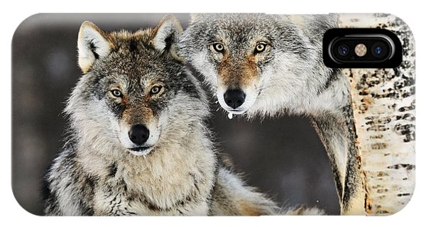 Mp iPhone Case - Gray Wolf Canis Lupus Pair In The Snow by Jasper Doest