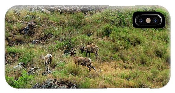 Rocky Mountain Bighorn Sheep iPhone Case - Grazing Bighorn Sheep by Robert Bales