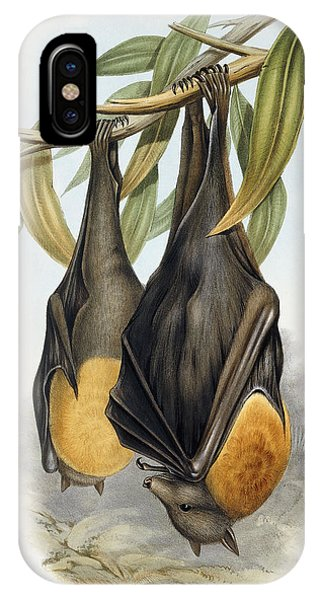 Grey Headed Flying Fox, Pteropus Poliocephalus IPhone Case