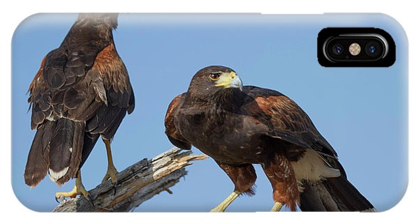 Harris Hawks IPhone Case