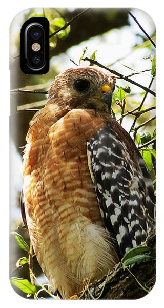 Hawk Taking A Rest On A Tree In Lakeland Florida IPhone Case