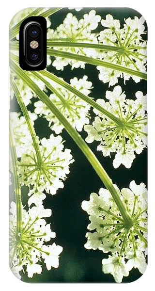 Blossoms iPhone Case - Himalayan Hogweed Cowparsnip by American School