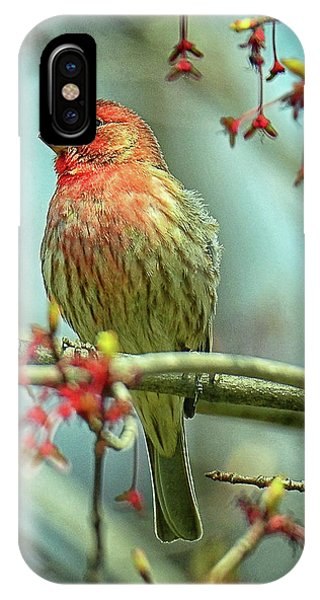 House Finch In Spring IPhone Case