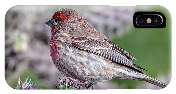 IPhone Case featuring the photograph House Finch Male by Tam Ryan