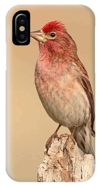 House Finch With Crest Askew IPhone Case