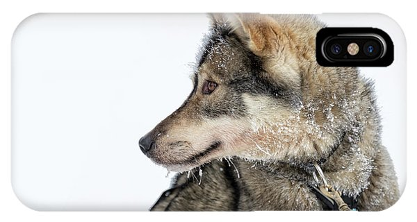 Sled Dog iPhone Case - Husky Dog by Delphimages Photo Creations