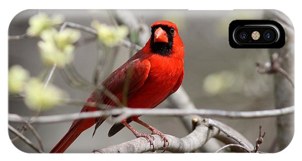 Img_2027-004 - Northern Cardinal IPhone Case