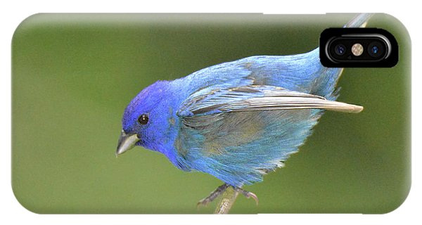 Indigo Bunting Rock IPhone Case
