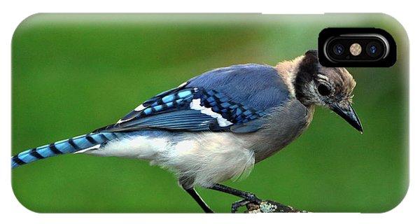 Juvenile Blue Jay  IPhone Case