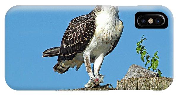 Juvenile Osprey#1 IPhone Case