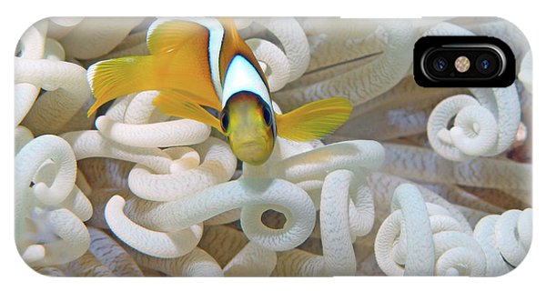 Juvenile Red Sea Clownfish, Eilat, Israel 3 IPhone Case