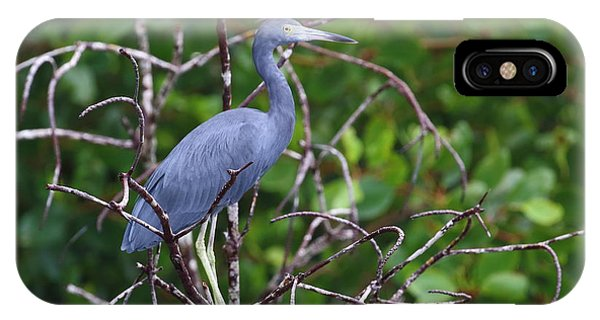 Little Blue At Trinidad's Caroni Swamp IPhone Case