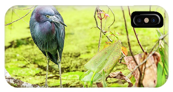 Little Blue Heron At Ollie's Pond IPhone Case