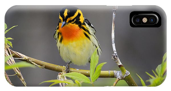 Male Blackburnian Warbler IPhone Case