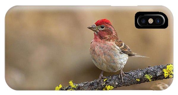 Male Cassins Finch IPhone Case