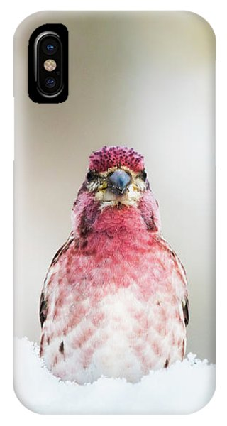Male House Finch IPhone Case