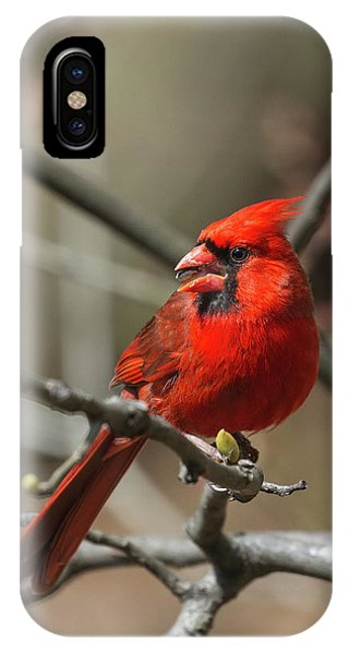 Male Northern Cardinal In Spring IPhone Case