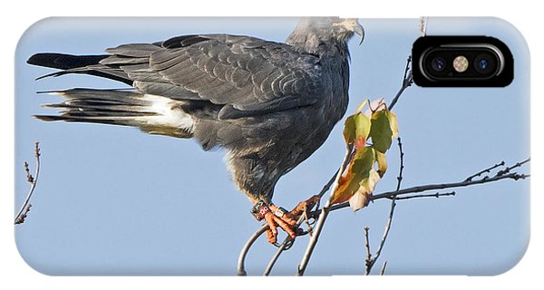 Male Snail Kite Poses IPhone Case