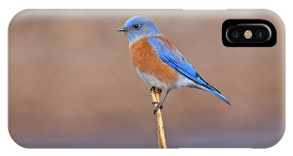 Male Western Bluebird Perched On A Stalk IPhone Case