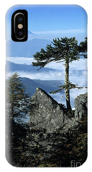 Monkey Puzzle Trees In Huerquehue National Park IPhone Case