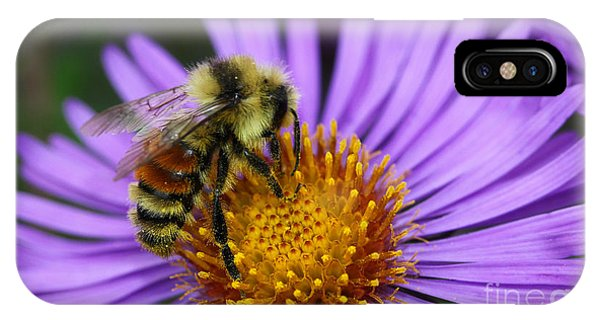New England Aster And Bee IPhone Case