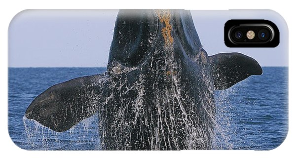 North Atlantic Right Whale Breaching IPhone Case