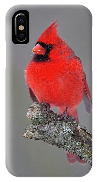 Northern Cardinal 10 IPhone Case