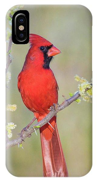 Northern Cardinal Cfh175894 IPhone Case