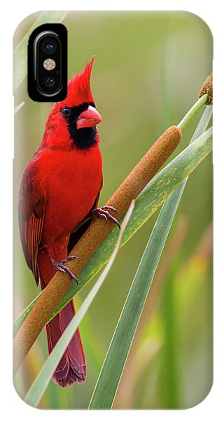 Northern Cardinal On Cattail IPhone Case