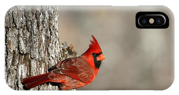 Northern Cardinal On Tree IPhone Case