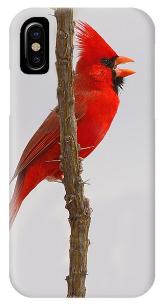 Northern Cardinal Proclaiming Spring Territory IPhone Case