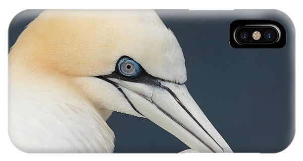 Northern Gannet At Troup Head - Scotland IPhone Case