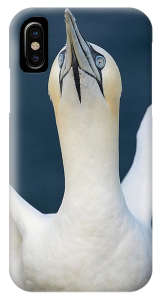 Northern Gannet Stretching Its Wings IPhone Case