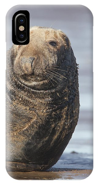 Old Atlantic Grey Seal On The Beach IPhone Case