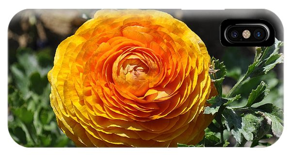 Orange Ranunculus IPhone Case