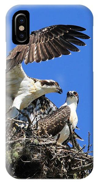 Osprey Chicks Ready To Fledge IPhone Case