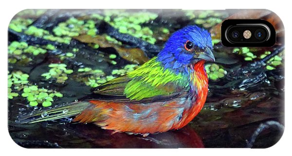 Painted Bunting After Bath IPhone Case