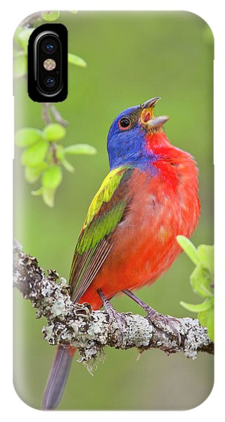 Painted Bunting Singing 2 IPhone Case