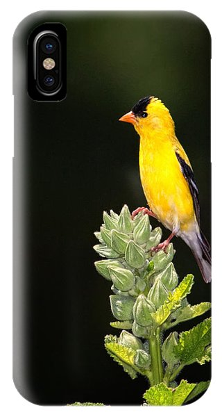 Perched American Goldfinch IPhone Case