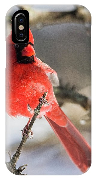 Perching Mister Cardinal IPhone Case
