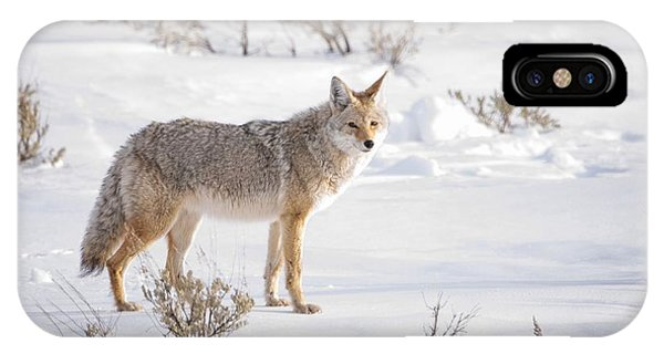 Yellowstone National Park iPhone Case - Posing Coyote by Brad Scott