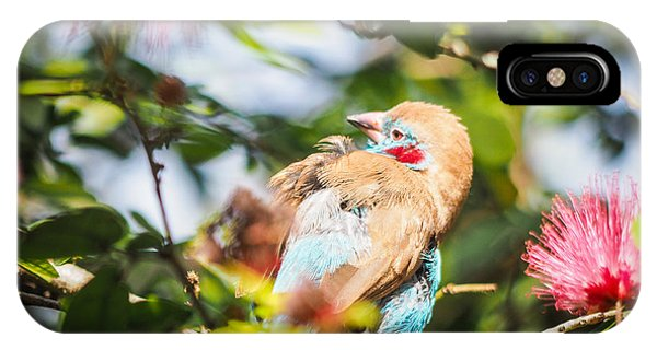 Red Cheeked Cordon Bleu Finch IPhone Case