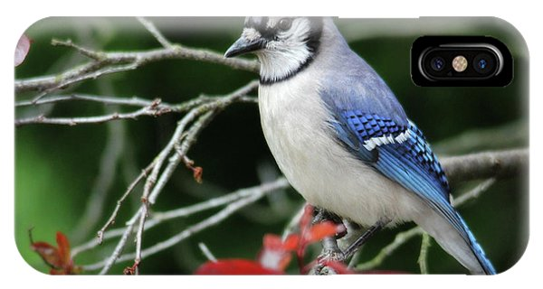 Pretty Blue Jay IPhone Case