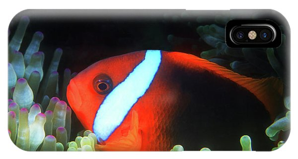 Amphiprion Melanopus iPhone Case - Red And Black Anemonefish, Great Barrier Reef by Pauline Walsh Jacobson